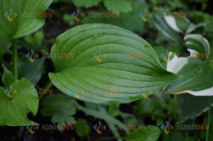Green leaf of Hosta stock photo